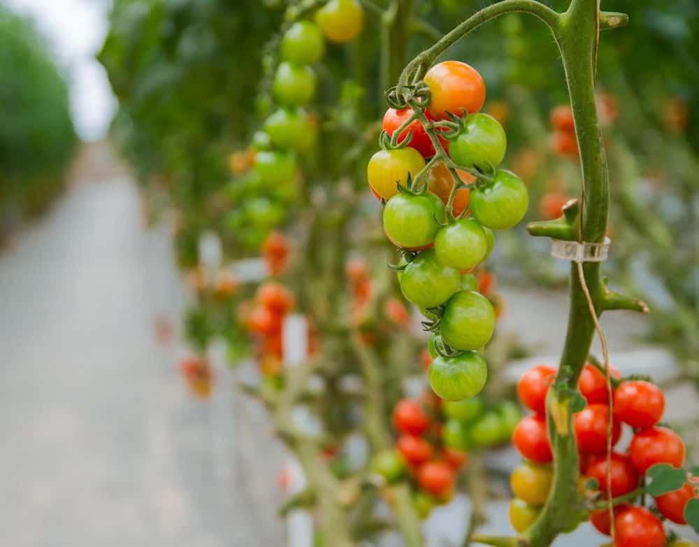 tomat hidroponik panen