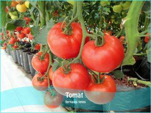 8 Cara Mudah Menanam Tomat Dengan Metode Hidroponik