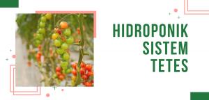 Belajar Budidaya Hidroponik Dengan Sistem Tetes