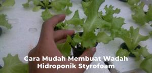 hidroponik styrofoam